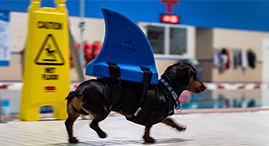 dog with fins walking along pool side